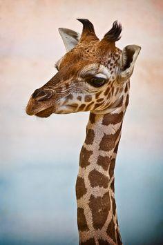 baby giraffe by Martin Svarc