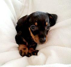 dachshund cuteness!
