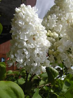 And Lilacs! Oh My! I can Smell them now! Where is the Coffee? Let's take a moment!
