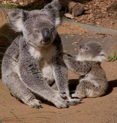Mom koala and baby Cute Funny Animals, Cute Baby Animals, Animals And Pets, Wild Animals, Funny Animal Faces, Best Dog Toys, Best Dogs, Dog Grooming Shop, Australian Animals