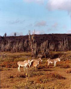 Feral donkeys gather in Washington Slagbaai National Park