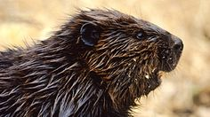 Leave It to Beavers | Beaver Fact Sheet: Everything You Need to Know About Beavers | Nature | PBS