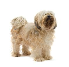 Tibetan Terrier:   The Tibetan Terrier is not really a terrier, so don't expect a terrier temperament. This delightful, childlike dog is his own breed.