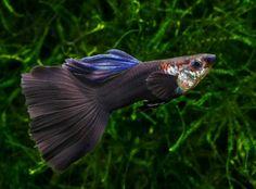 Гуппи самцы черные