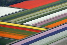 Blooming tulips field in The Netherlands.