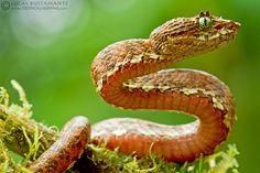 Eyelash Palm-Pitviper, Bothriechis schlegelii  -  San Lorenzo, Esmeraldas, Ecuador