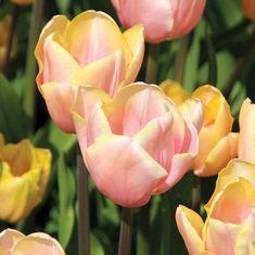 Tulipa Mango Charm