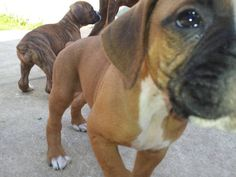 Cute AKC Boxer Puppy for Adoption- 6 weeks old