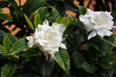 Growing gardenias is hard enough, so it is no wonder that many gardeners shudder at the thought of transplanting gardenia plants. Proper care is crucial to the success of transplanting. Click here for more.