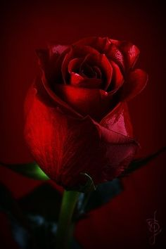 A single red rose signifies true love! So beautiful and simple!