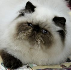 Persian himalayan kittens for sale indiana