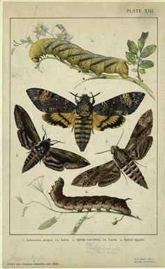 Death's-head hawkmoth, from British and European Butterflies and Moths, 1901 | New York Public Library.