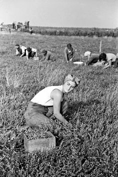 Arthur Rothstein photograph of a migrant female worker picking cranberries, Burlington County, New Jersey, 1938 during the American Great Depression.