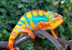 chameleon with mind blowing colors1(960×661)