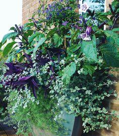 This fabulous late summer pot contains fragrant blue potato bush Solanum rantonnetii 'Royal Robe' combined with Brugmansia Helichrysum petiolare 'Goring Silver' Lotus berthelotii (Parrot's beak) and Setcreasea pallida 'Purple Heart'.