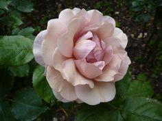 From my garden: Lavender Pinocchio.