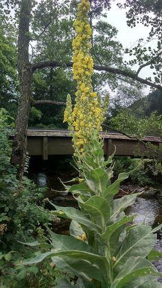 Bernadetts Blog Heilpflanzen und mehr: Die Königskerze,Wollblume (Verbascum densiflorum)