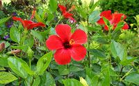Hibiscus Red Flowers photos