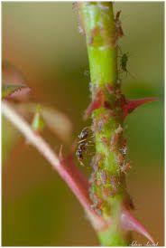 Insecticide naturel contre les pucerons des rosiers : 5 càs de savon noir liquide dans une litre d'eau (d'abord tiède puis froide). Laisser refroidir puis vaporiser.