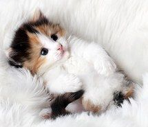 Inspiring image adorable, cute, cat, kitten, animal, kitty, pet #1079645 by nastty - Resolution 492x343px - Find the image to your taste