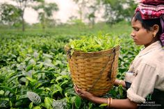 Our dedicated labours help us give you the best ! #Assam #Tea ☕   Replenish your taste buds.  Click here to choose from: https://www.halmaritea.com/teas/