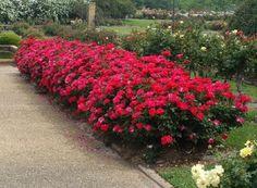 Double Knockout Rose on Fast Growing Trees Nursery Double Knockout Roses, Rose Hedge, Fast Growing Shrubs, Drift Roses, Dwarf Plants, Shrub Roses, Growing Roses, Rose Bush, Backyards