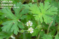 CAROLINA CRANESBILL (Geranium carolinianum)   What Florida Native Plant Is Blooming Today?™ 0314