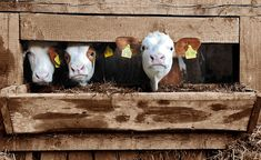 Young calves are kept confined and chained in cruel veal crates for most of their short lives before they are slaughtered in Virginia. Demand that this abuse be stopped and veal crates banned. Cut Out Dairy, Animal Rights Groups, Animal Agriculture, Food Club, Animals Of The World, Queso, Farm Animals, Investigations, Vegan Recipes