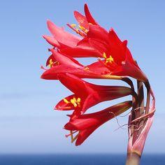 Añañuca roja, desierto florido, Chile  (Leon Calquin)