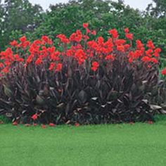 Red President Giant Cannas - spectacular fence, these grown to be aver 6 foot tall in an array of colors!