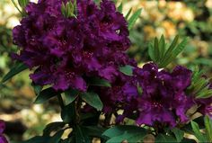 Azurro Rhododendron - In early June, 'Azurro' has flowers of bright purple, accented with a prominent red blotch. They are held above leaves of dark, glossy green on this very compact shrub.  Plant Height: 4 ft. (1.2 meters)  Plant Width/Spread: 4 ft. (1.2 meters)  Hardiness: USDA Zones 5 to 9  Flower Color: purple  Sun/Light Exposure: full sun to light or open shade  Water Requirements: regular watering