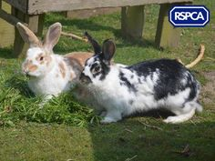 Fudge and Smudge, Domestic rabbits, 1 Year, RSPCA West Suffolk Branch Pet Search, Rodents, Sadie, Rabbits, Smudging, 1 Year, Adoption, Best Friends, Wildlife