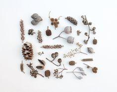 Australian seed pods
