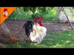 Top 10 Best Rooster Crowing Sound Effects Compilation Plus - Funny Chicken Noises - Rooster Noises Animals And Pets, Funny Animals, Cute Animals, Chicken Humor, Funny Chicken, Rooster Year, Rooster Breeds, Cute Chickens, Sound Effects