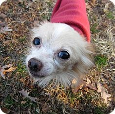 Pictures of Homer a Chihuahua for adoption in Frederick, MD who needs a loving home. Long Haired Chihuahua, Chihuahua Mix, Small Dog Breeds, Small Breed, Chihuahuas For Adoption, Pet Adoption, Skye Terrier, Cavalier King Charles, Butterflies