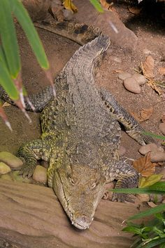 A crocodile snapped at Paignton Zoo Crocodile, Places, Photography, Animals, Fotografie, Animales, Photograph, Animaux, Crocodiles