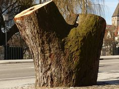 A Sawed Off #Tree_Stump in an Urban Locale - Cities often have to prevent tree growth by sawing #branches down to prevent further growth. This can be necessitated by a number of reasons, and can be performed by a reliable tree company, who can do it safely and efficiently.