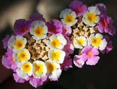 Lantana, attractive to butterflies!