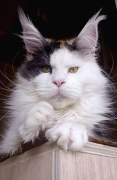 Elaiza of Baydar #mainecoon #cat  Devil's Shadow Maine Coons