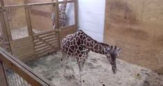 BABY GIRAFFE WATCH continues at the Animal Adventure Park in New York. Mama April is restless and expecting at any moment. Question And Answer, This Or That Questions, Giraffe Family, Park In New York, New Baby Boys, Get Excited, New Baby Products, In This Moment, Adventure