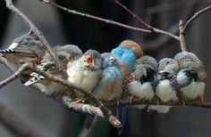 Google Image Result for http://images02.olx.com.pk/ui/9/43/67/1288163361_132403667_1-for-sale-finches-Mamunkanjan.jpg