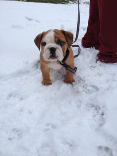 bulldog cuteness..