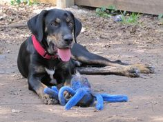 9/4*****Henry is an adoptable Black and Tan Coonhound searching for a forever…