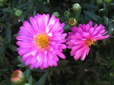 Pink Aster blooms...