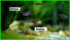 Ikan Neon menjadi pilihan karena memiliki banyak keunggulan. - Dunia Fauna , Hewan , Binatang & Tumbuhan Neon Tetra, Aqua, Poster, Neon, Water, Billboard