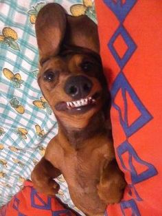 doxie teeth!! by ina