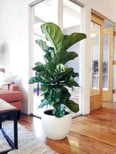 ✔40 Favourite Indoor Garden For Apartment Design Ideas And Remodel  #IndoorGarden #GardenApartment #GardenRemodel #GardenIdeas #GardenDesign  _____________________________________________  Like plants and flowers in the yard and dreamed of having a yard in your own home? Indoor pages can be a solution for you who do not have space to create a zone outside the home page. As the name suggests, the indoor courtyard uses a corner of the room inside the house to make it a green zone. Ficus, Tall Indoor Plants, Indoor Planters, Indoor Gardening, Indoor Trees, Hanging Plants, Plantas Indoor, Decoration Plante, Wood Plant Stand