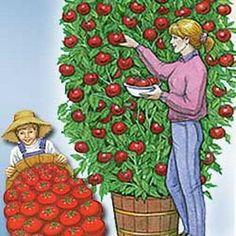 Heirloom Tomato Seeds - 'Giant Belgium Pink' 20 seeds by Seeds and Things. $3.69. Another Big Fella, 2 to 5 pounds,. dark pink, Sweet, indeterminate. 20 SEEDS. This Tomato Seed - is an HEIRLOOM. Known for their size and great flavor, Giant Belgiun Pink tomatoes average 2 pounds but can get as large as 5 pounds! A great slicing variety, these heirloom tomatoes are mild and so sweet that they've been used in wine making! Very popular heirloom variety!