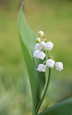 Convallaria majalis Maiglöckchen – eingetopft lily of the valley Flowers Nature, Amazing Flowers, Spring Flowers, White Flowers, Beautiful Flowers, Flower Images, Flower Photos, Flower Art, Arreglos Ikebana