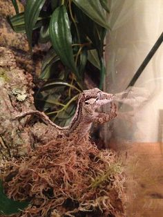 did-you-miss-me-sherl: My gargoyle gecko, Loki, trying to work out the glass Cute Reptiles, Reptiles And Amphibians, Mammals, Animals Of The World, Animals And Pets, Cute Animals, Bearded Dragon Funny, Bearded Dragon Cage, Paludarium